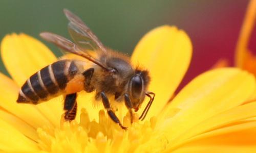 Hòa Bình nuôi ong mật chất lượng cao