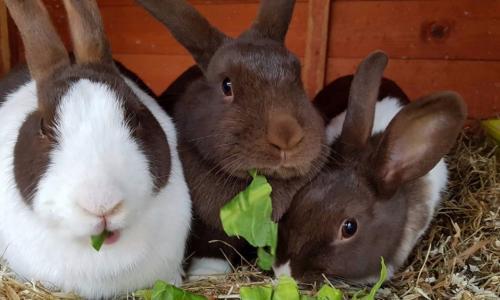 Món ăn thuốc từ thịt thỏ