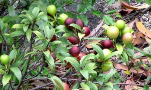 Công dụng chữa bệnh của cây vú bò