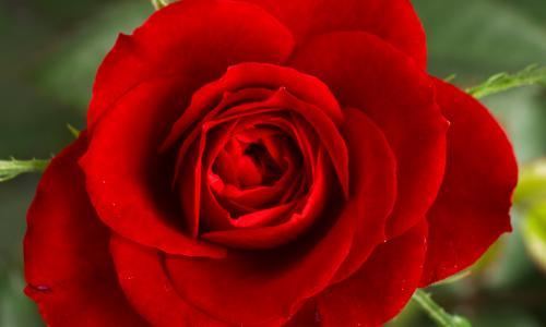 Hoa hồng không nói