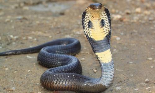 Kinh hoàng bé trai hoại tử bàn tay vì đắp hạt đậu chữa rắn hổ mang cắn