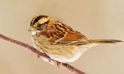 Dược thiện từ chim sẻ giúp chữa nhiều bệnh