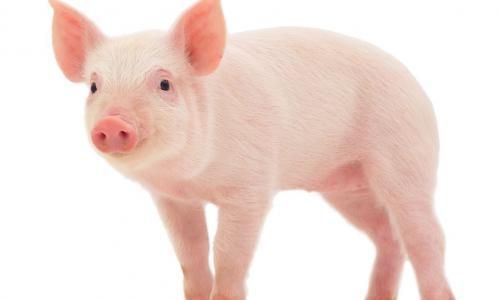 Bộ Y tế: Bệnh tả ở lợn không có khả năng lây nhiễm sang người