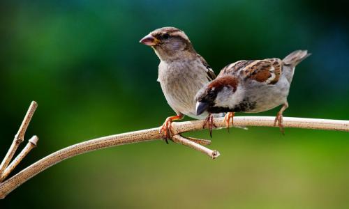 Món ăn - bài thuốc từ chim sẻ