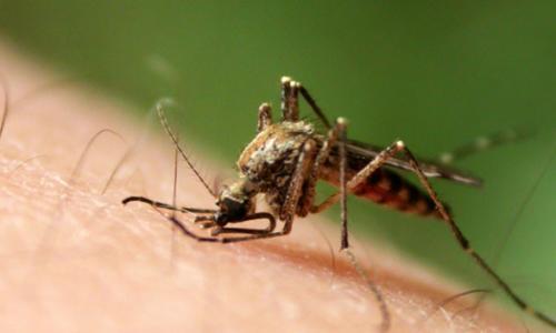 Điều trị quan sát trực tiếp bệnh sốt rét