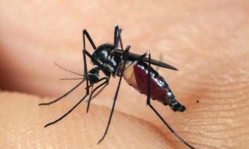 Phát hiện vi-rút Zika trong loài muỗi khác