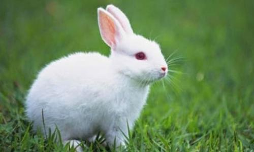 Thỏ nhục trị suy nhược cơ thể