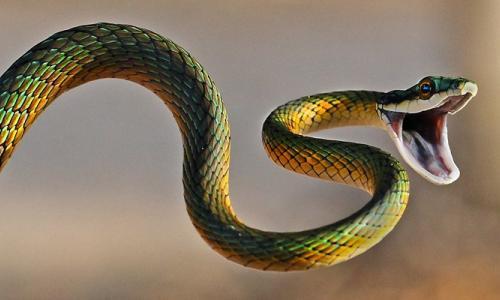 Bé 10 tuổi bị rắn cắn khi vừa mở cửa vào nhà